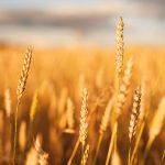 Variedades de trigo en España