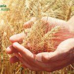 El trigo en España, el segundo cultivo con más representación | Agraria San Antón